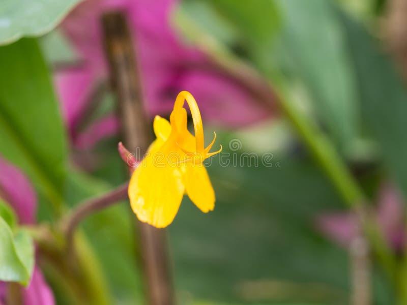 Estambres amarillos de la flor del rosa de Globba fotografía de archivo