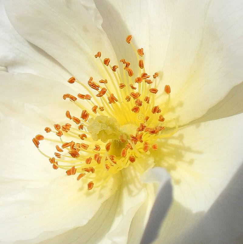 Estambres macros en la flor del rockrose fotos de archivo