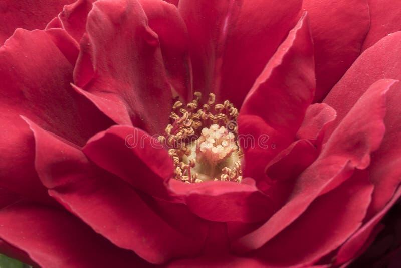 Estambres y pétalos color de rosa Ascendente cercano del detalle Fotograf?a macra fotos de archivo libres de regalías
