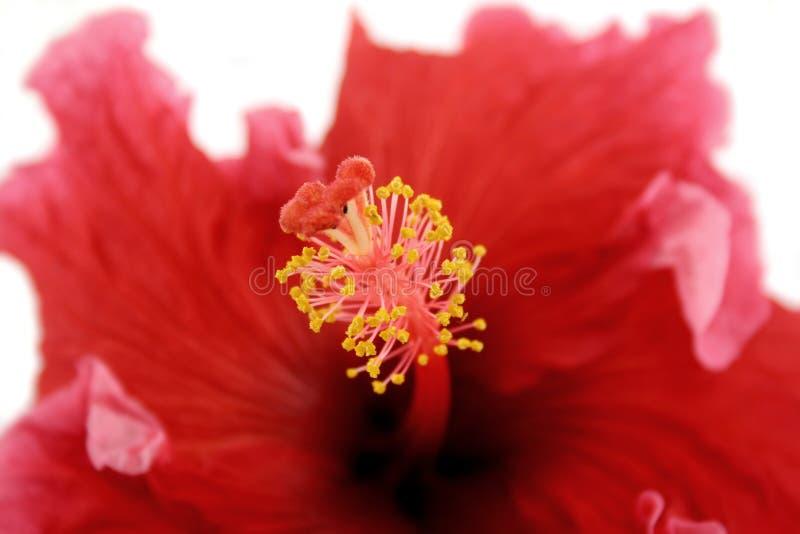 Estame do hibiscus 1 imagem de stock