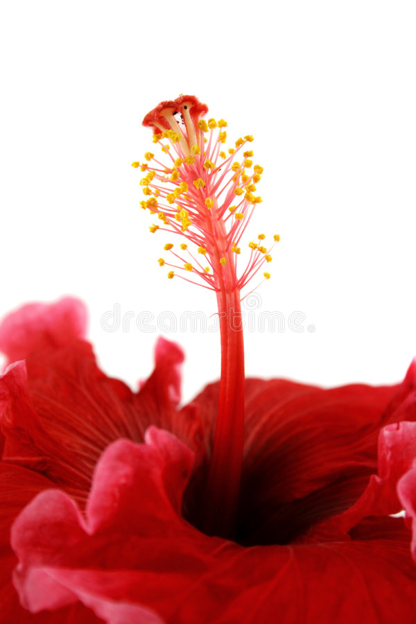 Estame do hibiscus 2 fotos de stock