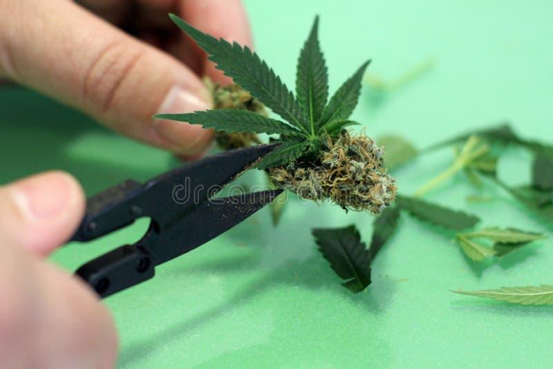 Estamos cortando la marijuana verde con las tijeras agudas fotos de archivo libres de regalías