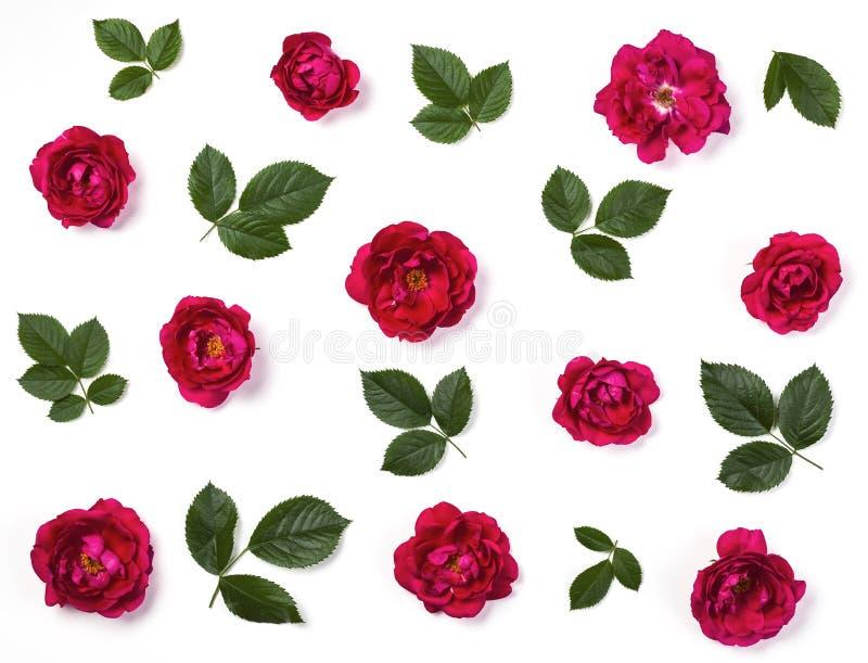 Estampado de flores hecho de las flores de la rosa del rosa y de las hojas del verde aisladas en el fondo blanco Endecha plana imagen de archivo