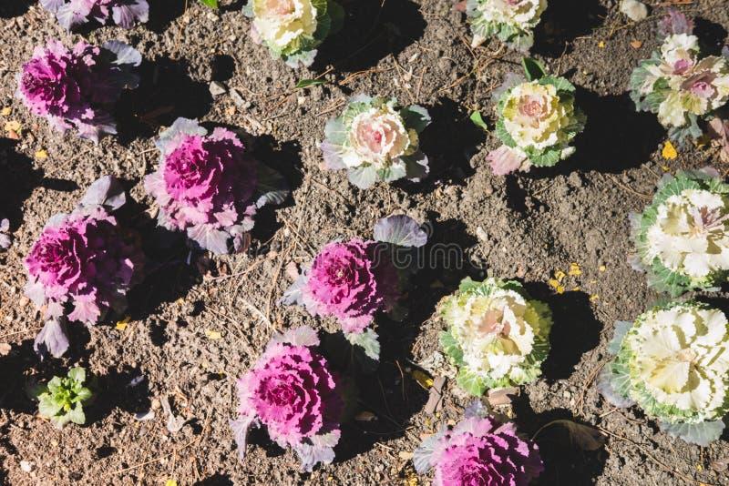 Estampado de flores de las flores de la col decorativa del color blanco y rosado que crece en la tierra marr?n Fondo natural foto de archivo libre de regalías