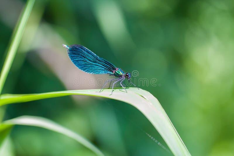 Estancia de la libélula en la hoja fotografía de archivo libre de regalías