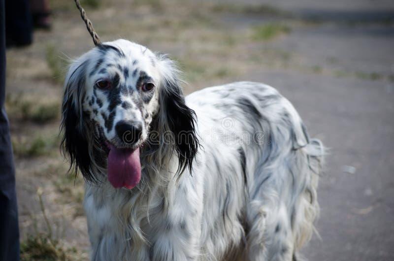Estancia del organismo inglés en un campo Perro de caza fotos de archivo