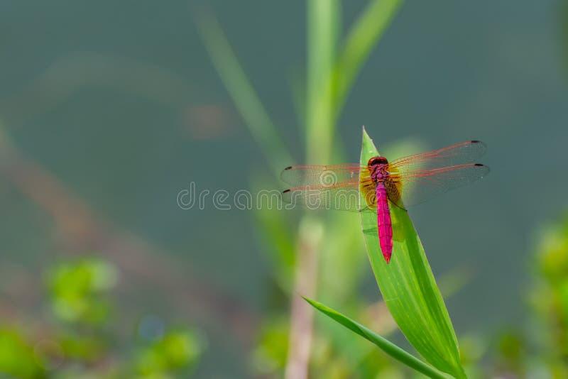 Estancia roja de la libélula en las hojas verdes imagenes de archivo