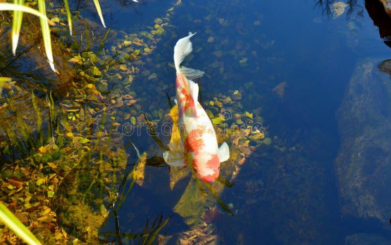 Estanque de peces del Poi fotos de archivo