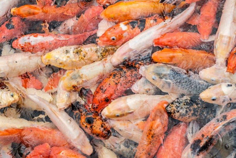 Estanque de peces de oro del koi - pescados coloridos en agua - foto de archivo libre de regalías