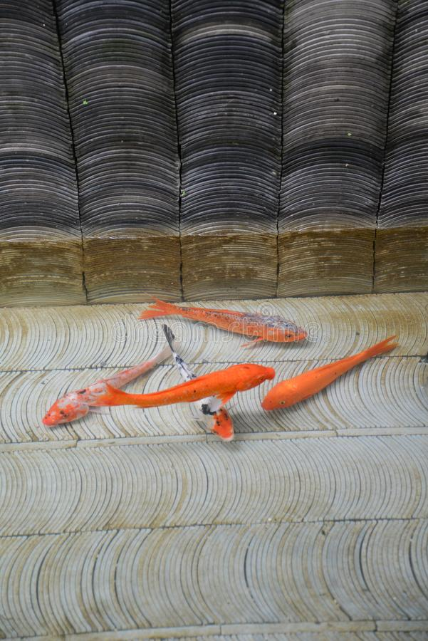 Estanque de peces rojo y de oro Carpa de Koi en un lavabo tejado del agua fotografía de archivo