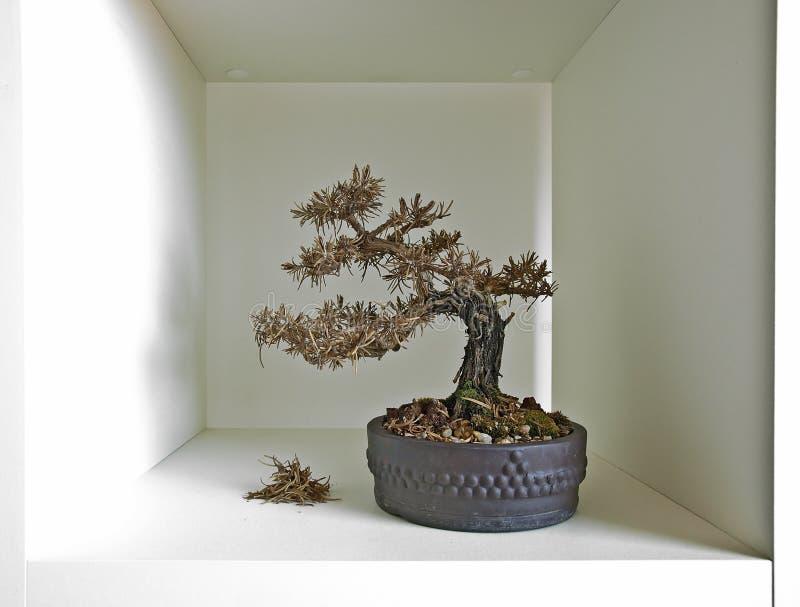 Estante III de los bonsais imagen de archivo libre de regalías