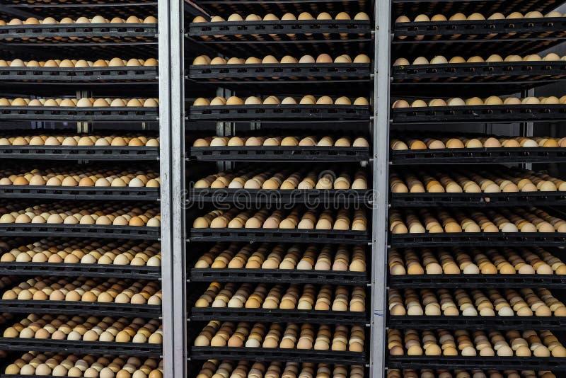 Estantería con gradas con los huevos del pollo en incubadora agroindustrial fotos de archivo