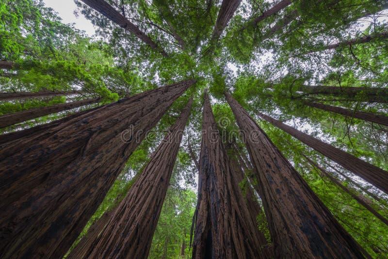 Estar sob um dossel das árvores em Muir Woods National Monument foto de stock royalty free