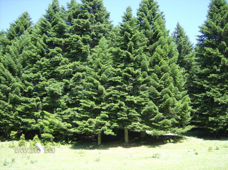 Estate attillata Grecia della foresta dell'abete immagine stock libera da diritti