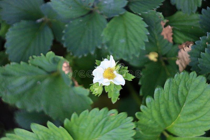 Estate bianca di colore verde di colore della fragola del fiore fotografia stock
