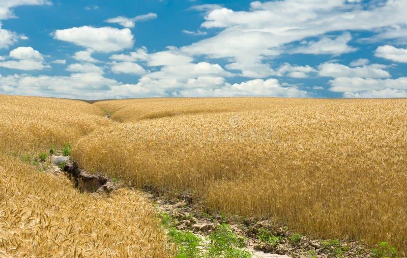 Estate, campo di frumento ed erosione di terreno fotografia stock libera da diritti