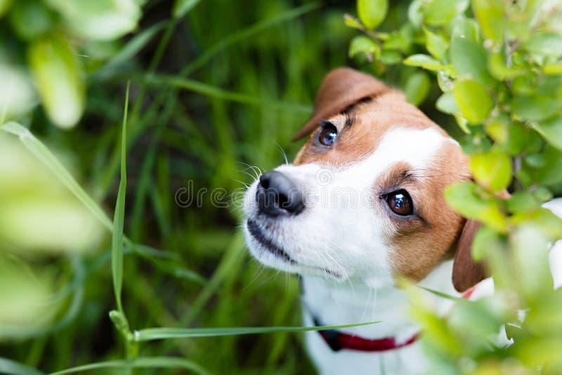 Estate del terrier di Jack Russel immagine stock