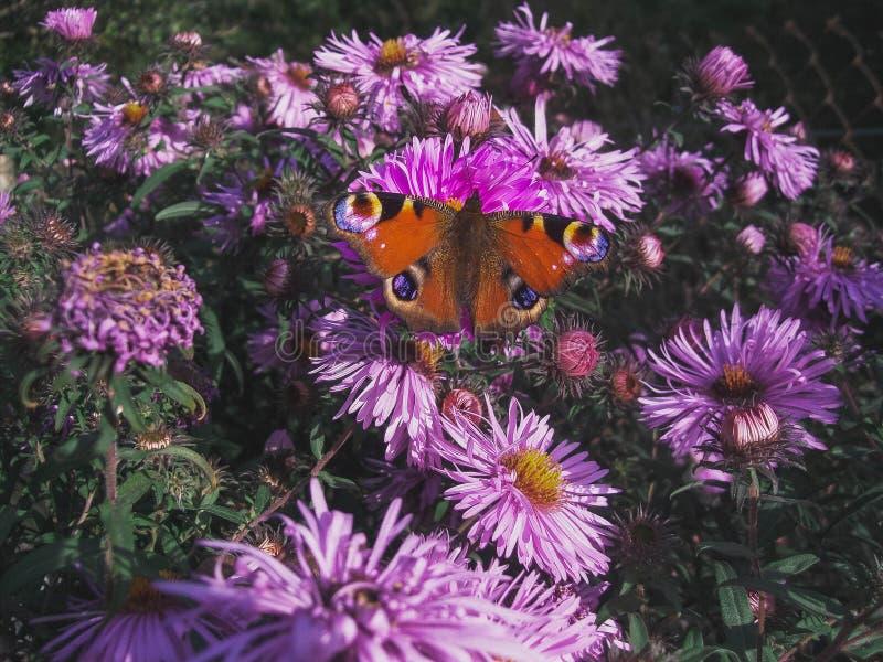 Estate, fiore, autunno, farfalla, Inachis io, lillà immagine stock libera da diritti