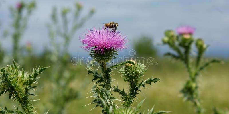 Estate Fioritura di un cardo selvatico Questa pianta dà generoso le sue proprietà nutrizionali e curative fotografie stock