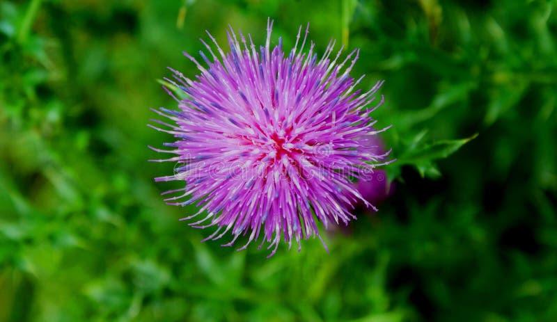 Estate Fioritura di un cardo selvatico Questa pianta dà generoso le sue proprietà nutrizionali e curative immagini stock