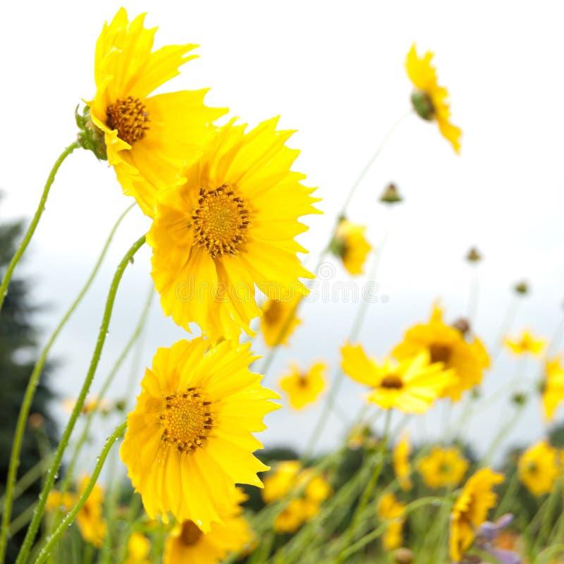 estate media Coreopsi gialla fiori di chiusura fotografia stock libera da diritti