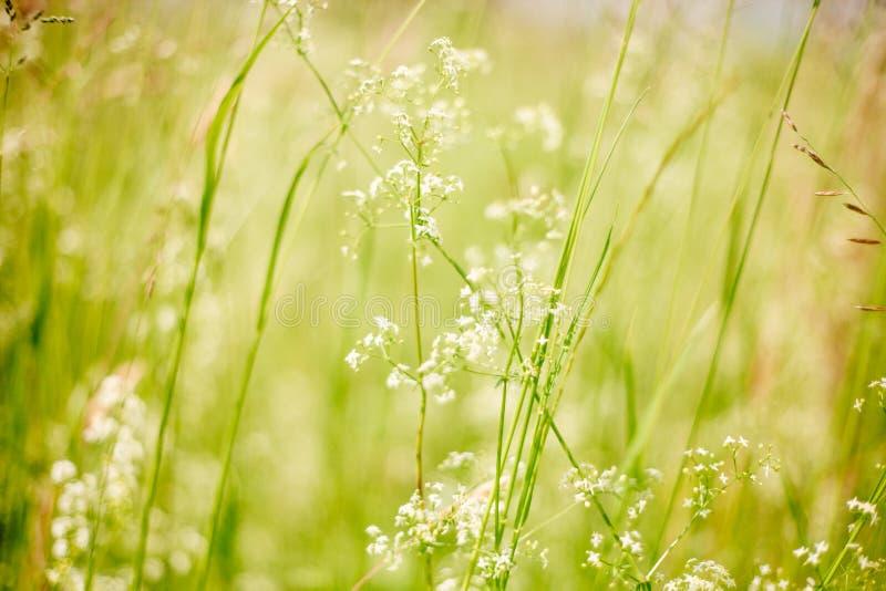 Estate o immagine viva della molla macro con erba ed i fiori bianchi selvaggi fotografia stock libera da diritti