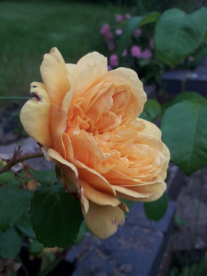 Estate rosa arancio vibrante fotografia stock libera da diritti