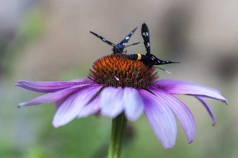 Estate su un giacimento di fiore in Badacsonors fotografia stock libera da diritti