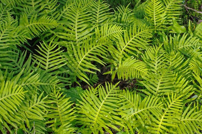 Este é cambricum do Polypodium, o polypody do sul ou polypody de Galês fotos de stock