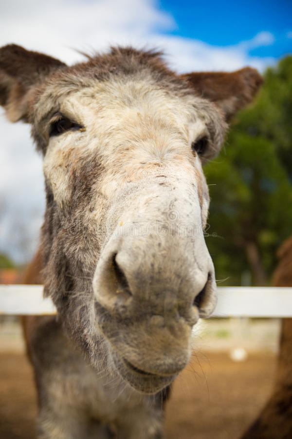Este burro precioso quiere besarle fotografía de archivo libre de regalías