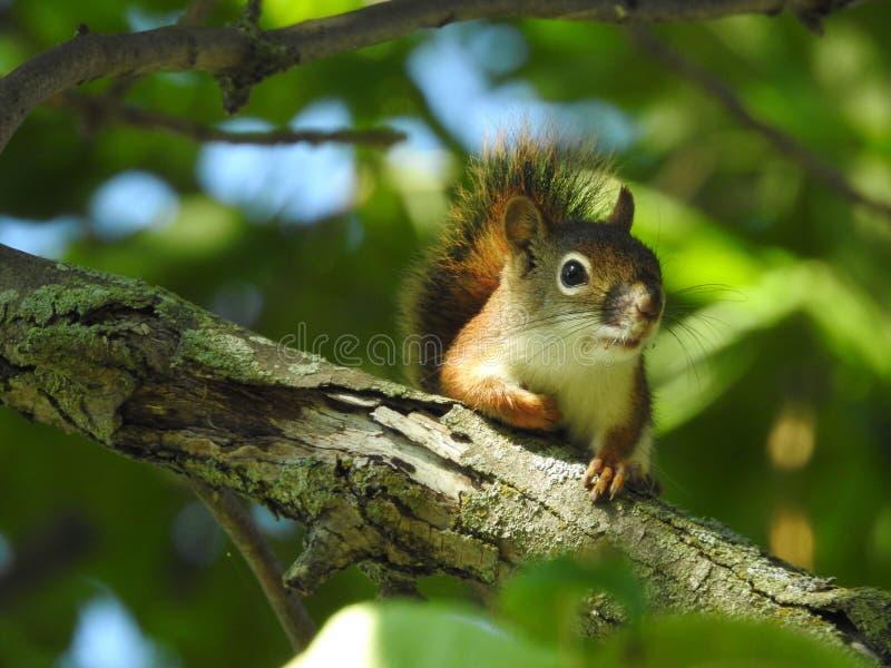 Este esquilo tem seu olho em mim! fotos de stock