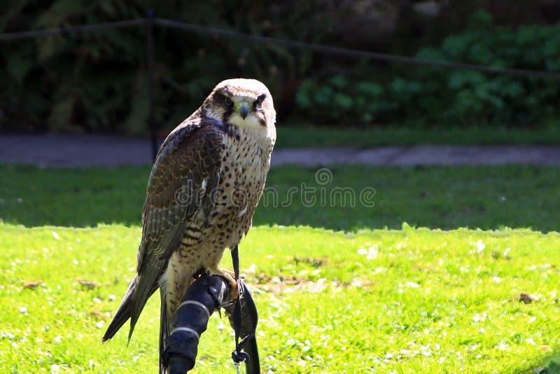 Este halcón le está mirando imagen de archivo