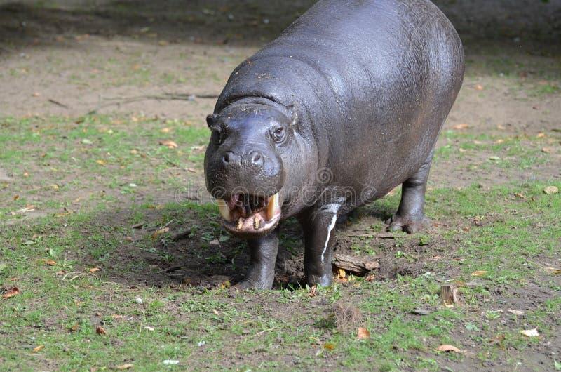 Este hipopótamo do pigmeu está sorrindo em você? imagem de stock
