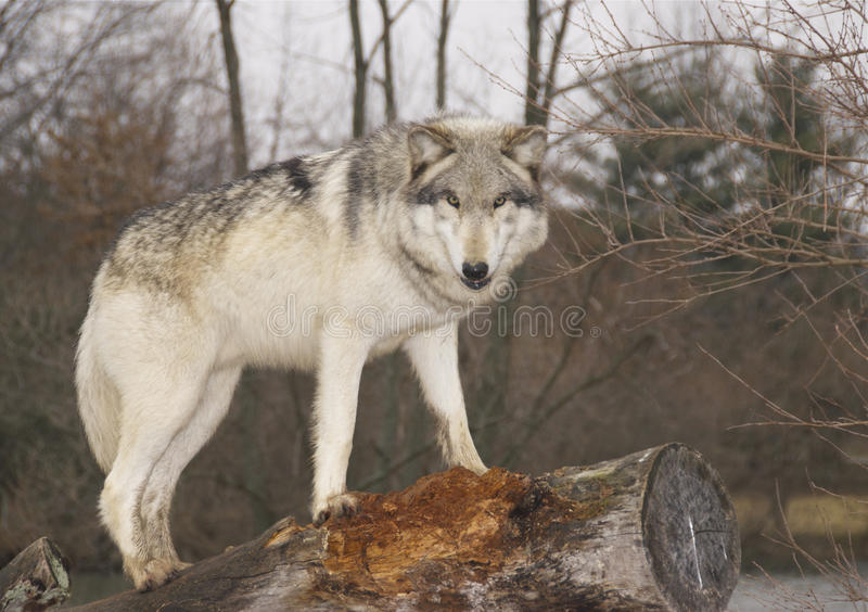 Lobo fotografia de stock