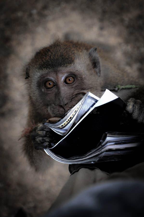 Este Macaque novo adora realmente a leitura imagem de stock royalty free
