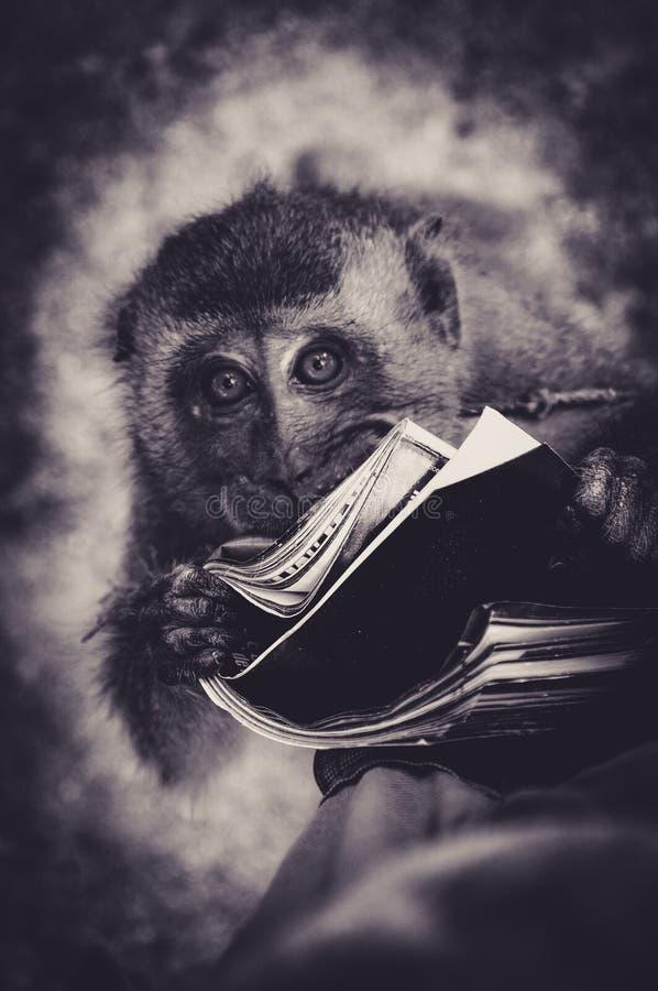 Este Macaque novo adora realmente a leitura foto de stock