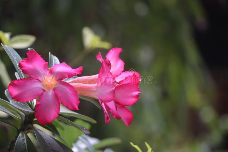 Este par de flores del Adenium es hermoso fotos de archivo libres de regalías