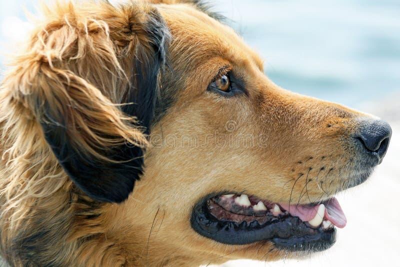 Este perro con los ojos expresivos está esperando feliz su comando siguiente foto de archivo libre de regalías