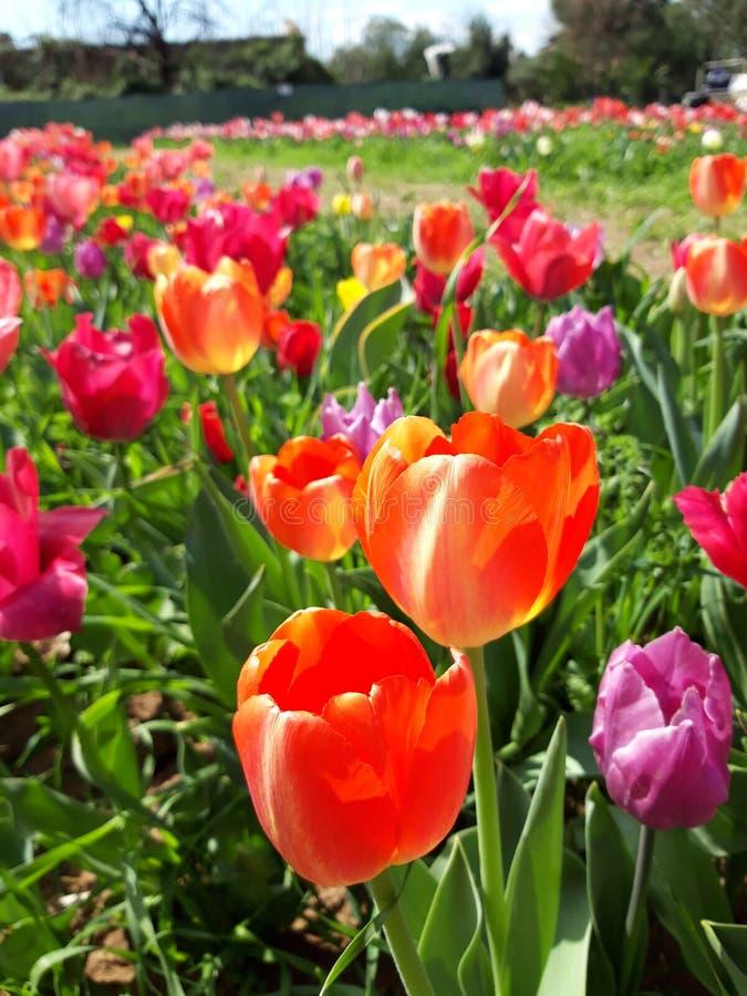 Estensione del prato variopinto dei tulipani in primavera Bello giorno soleggiato di marzo Mille colori dei tulipani olandesi fotografia stock libera da diritti