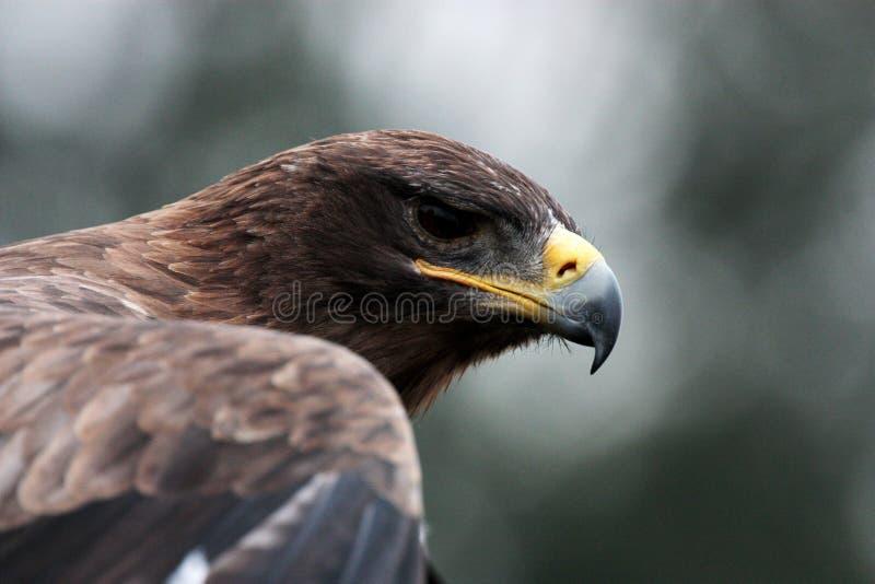 Estepe-águia fotografia de stock