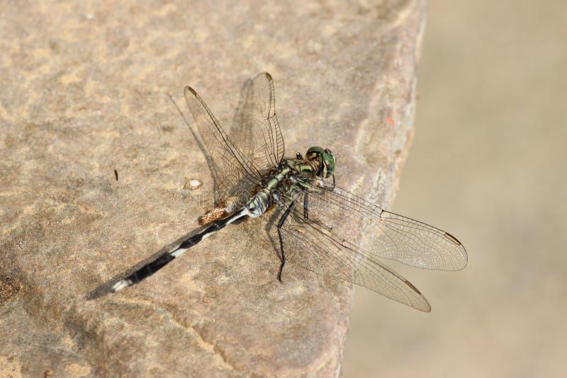 Estetyczny dragonfly zdjęcia stock