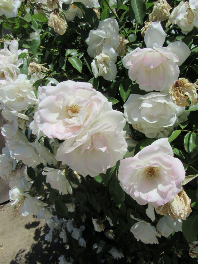 Esthetische Witte Bloemen stock foto