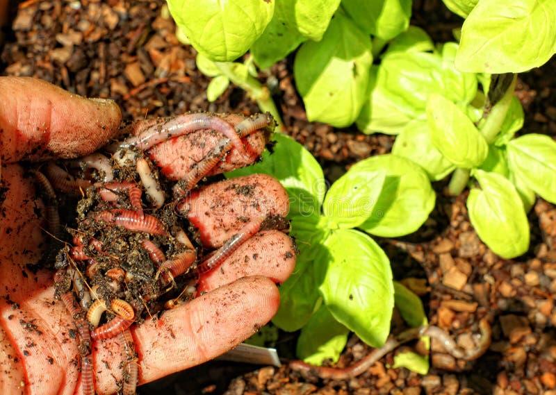 Estiércol vegetal del gusano fotografía de archivo
