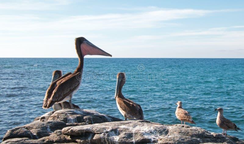 Esticão do pelicano de Califórnia Brown/que infla o malote da garganta no afloramento rochoso em Punta Lobos em Baja California M imagem de stock royalty free