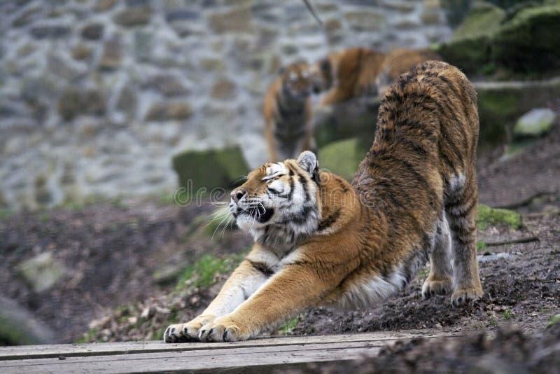 Esticando o tigre imagem de stock