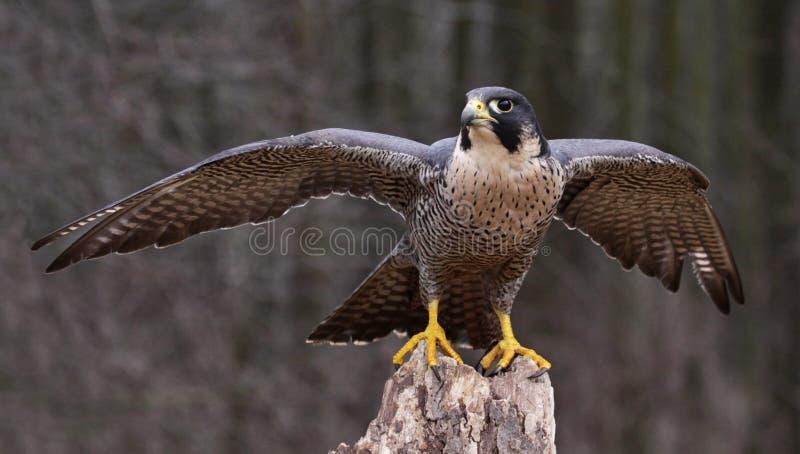 Esticando Peregrine Falcon fotografia de stock royalty free