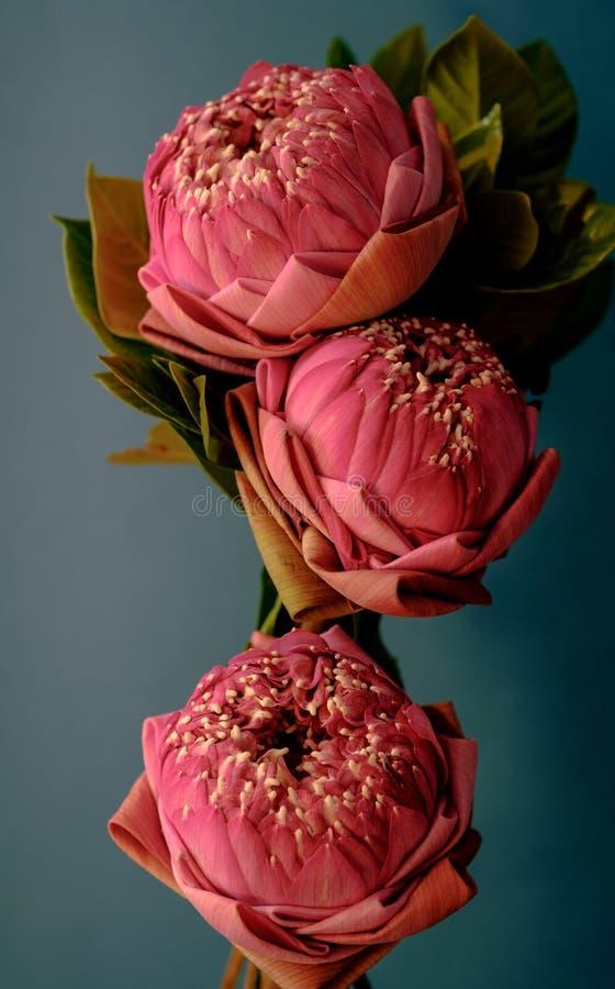 Estilo da imagem do vintage no lírio de água ou na flor de lótus de dobramento cor-de-rosa fotografia de stock royalty free
