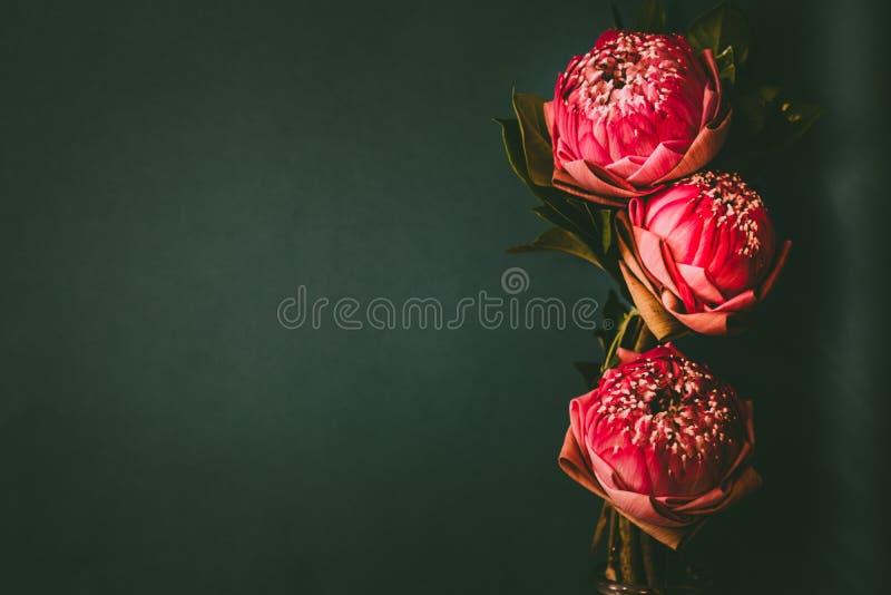 Estilo da imagem do vintage no lírio de água ou na flor de lótus de dobramento cor-de-rosa foto de stock