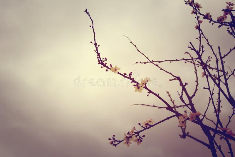 Estilo do vintage da flor da ameixa fotos de stock