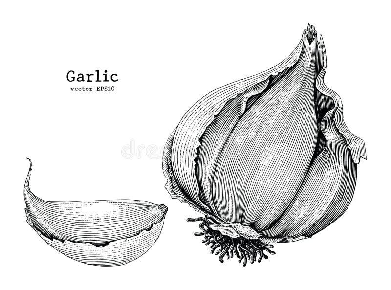 Estilo do vintage do desenho da mão do alho ilustração do vetor